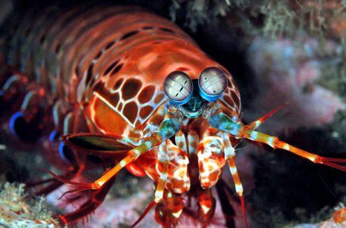 Исследователи подсмотрели идею камеры со сверхшироким динамическим диапазоном у креветки
