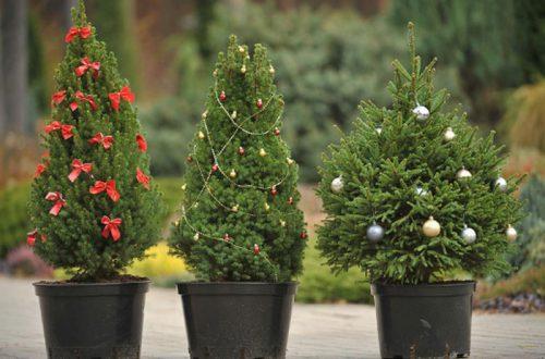 ТОП 10 лайфхаков, как выбрать живую елку: и вот она, нарядная, на праздник к нам пришла