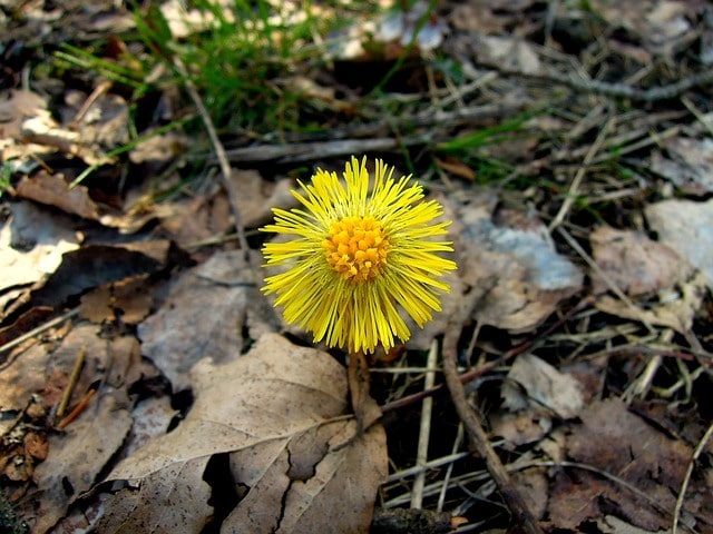 мать-и–мачеха цветок трава