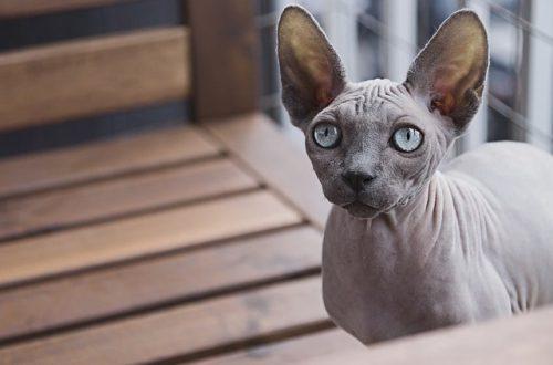 Котики сфинксы: описание породы и дальнейший уход